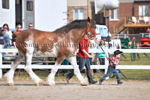 Binbrook Fair Clydesdale Show