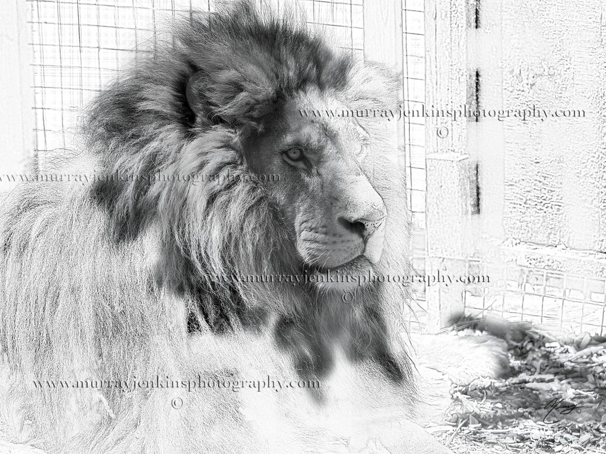 Lion Killman Zoo